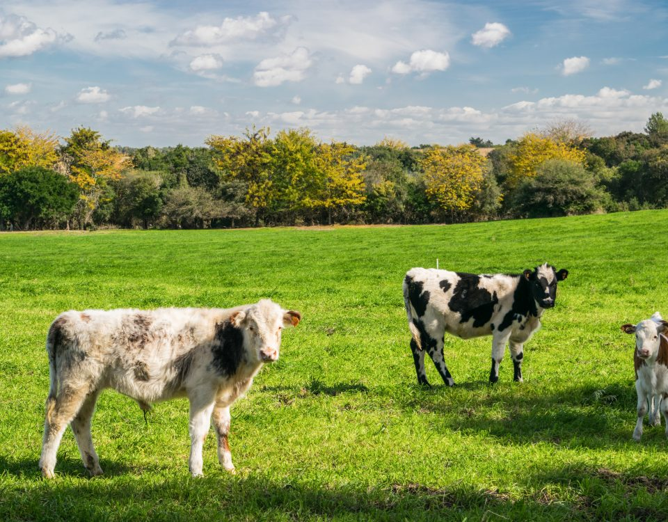 Certified organic cows in a field